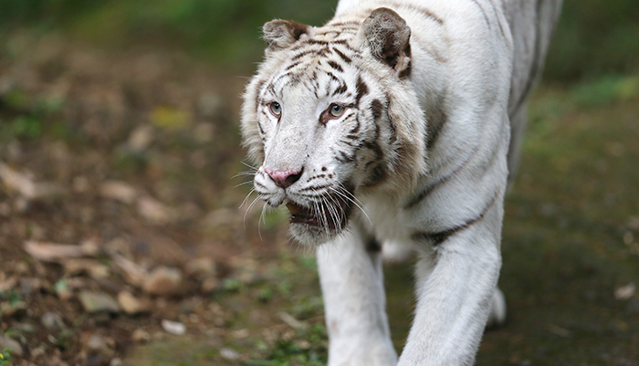 Harimau Putih Dari India - Tajmahal Taman Safari